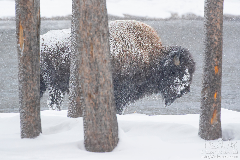 An American bison (Bison bison) stands among trees as snow falls along the Firehole River in Yellowstone National Park, Wyoming. Bison are well-equiped for harsh winter conditions. They grow a winter coat of wooly underfur, which has coarse hairs that protect them from the elements. The humps on their backs also contain muscles supported by long vertebrae that help swing their heads to move vast amounts of snow.