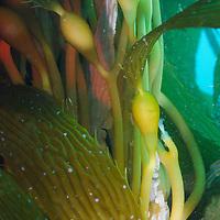 Kelp forest photograh, Macrocystis pyrifera, Southern California