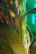 Kelp forest photograh, Macrocystis pyrifera, Southern California