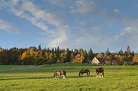 Grazing horses Vermont