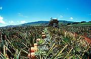 Pineapple, Lanai, Hawaii