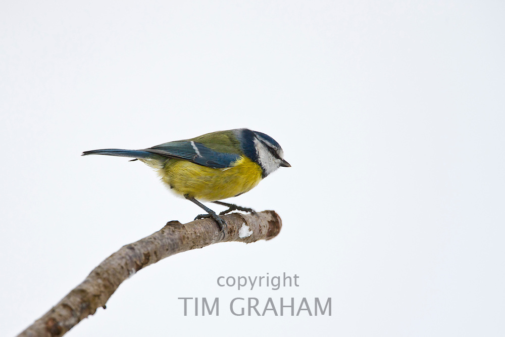 Blue tit perches by snowy slope during winter in The Cotswolds, UK