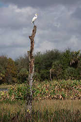 Snowy Egret on a tree branch at Green Cay Nature Center and Wetlands in Florida