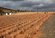 Aloe vera plants commercial cultivation, Tiscamanita, Fuerteventura, Canary Islands, Spain