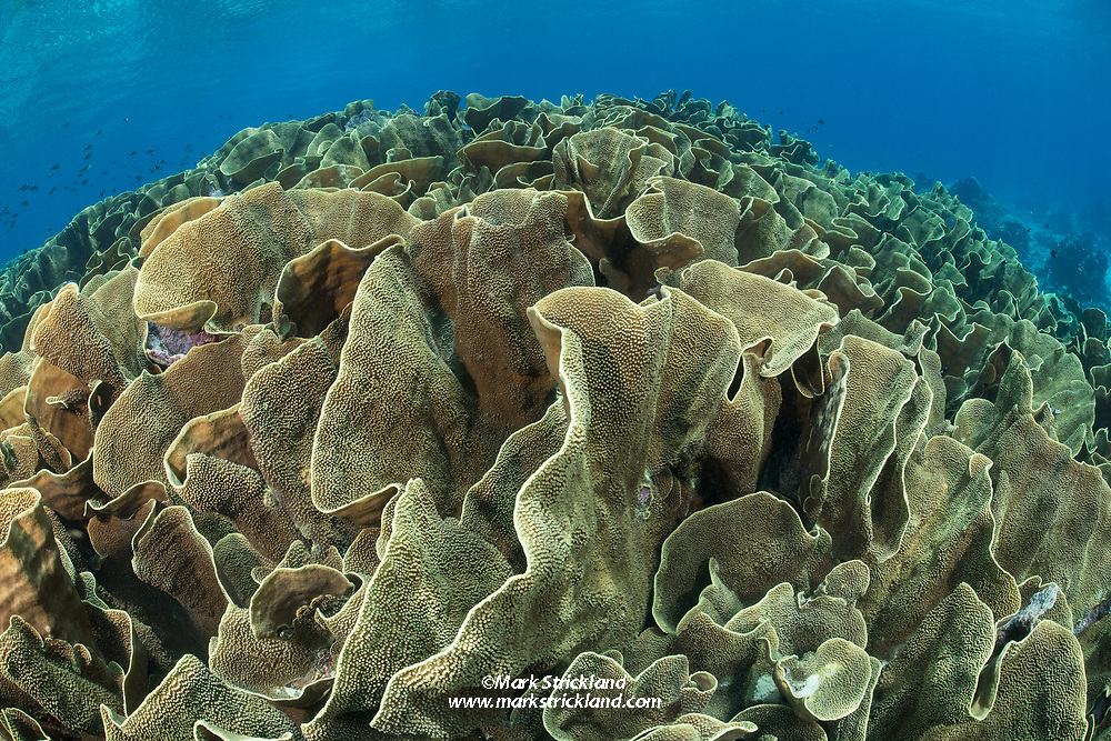 A large stand of Cabbage Coral, Turbinaria reniformis, thrives in the shallows of Nagali Passage, Gau, Fiji, Pacific Ocean