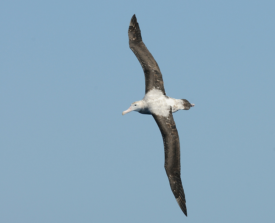 A sub-adult Wandering Albatross (Diomedea exulans) in flight. Southern Ocean,  South Georgia. 17Feb16