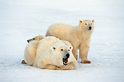 Polar bear in arctic environment, sow with cub