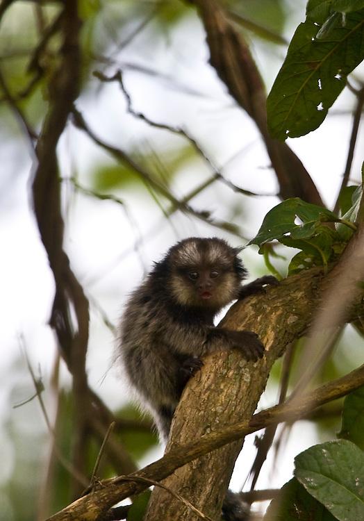 Jeceaba_MG..Macaco no galho de uma arvore em Jeceaba...A monkey on the branch tree in Jeceaba...Foto: JOAO MARCOS ROSA / NITRO..