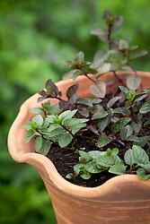 Mentha 'Chocolate Peppermint' in a terracotta pot