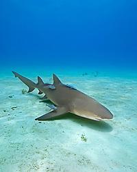 Lemon Shark, Negaprion brevirostris, with Sharksuckers, Echeneis naucrates, West End, Grand Bahama, Bahamas, Caribbean, Atlantic Ocean