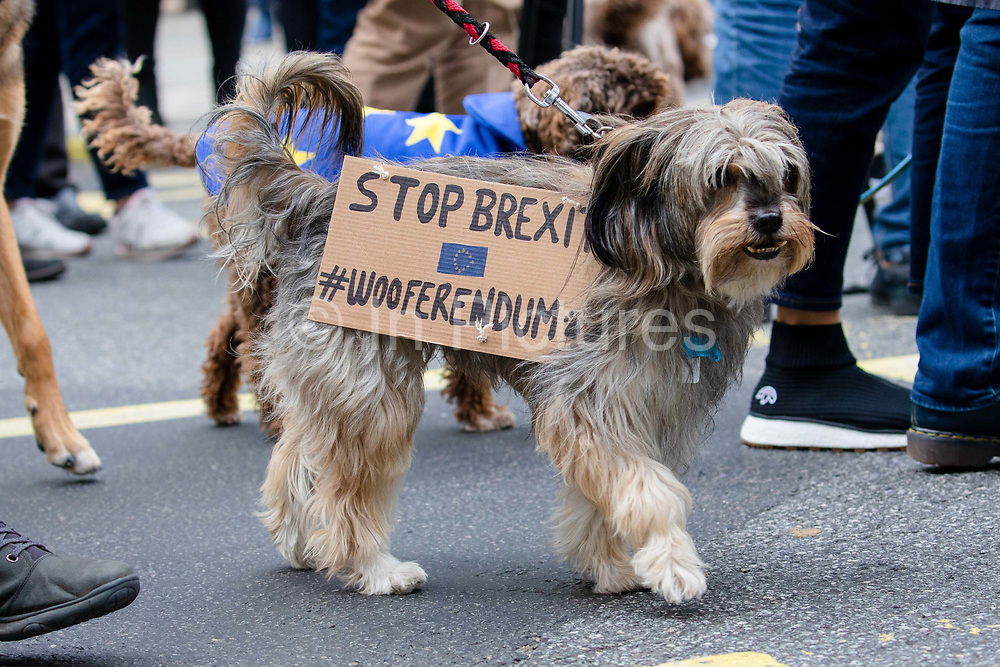 A dog wearing a Stop Brexit #Wooferendum placard takes part in an anti Brexit Wooferendum rally on October 07, 2018 in London, England to protest against Britain leaving the European Union.