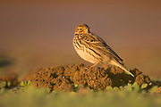 Red-throated pipit (Anthus cervinus) on the ground. This small passerine bird breeds in the far north of Europe and Asia, with a foothold in northern Alaska. Photographed in Israel in October