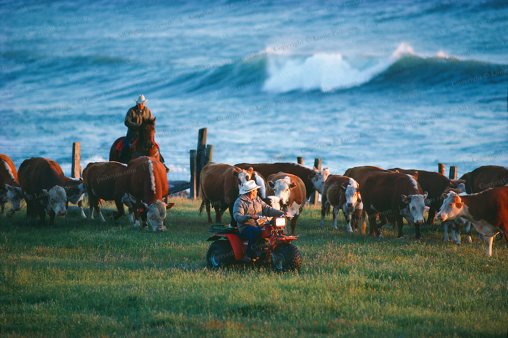 Cowboys at the Russ Ranch on Cape Mendocino, cut cattle with All-Terrain-Vehicles.