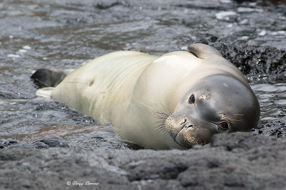 Hawaiian monk seal, Neomonachus schauinslandi, formerly Neomonachus schauinslandi ( CriticallyEndangered, endemic species ), 5 month old male ( RN02 or Kamilo ), resting on shoreline, Kealakekua Bay, Kona Coast, Hawaii ( the Big Island )