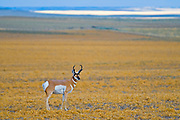 Pronghorn (Antilocapra americana) on the prairie<br />