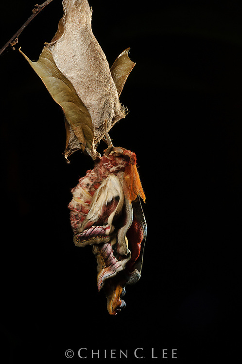 A male Atlas Moth (Attacus atlas) allows its wings to expand and harden after emerging from its cocoon.  It will now live only long enough to find a mate. Sarawak, Malaysia (Borneo).
