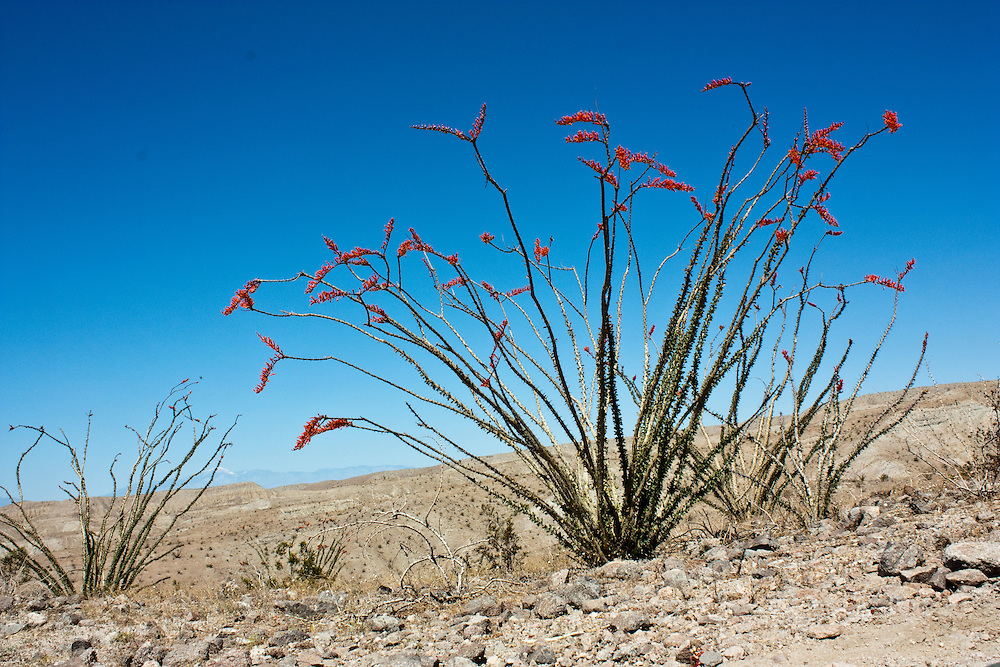 Ocotillo (Fouquieria spendens) in bloom on Painted Canyon trail, Cochella, CA