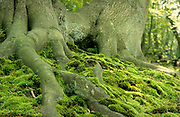 Moss covered roots of Beech Tree, Fagus sp, UK