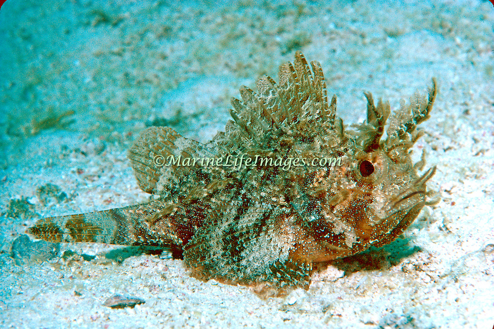 Plumed Scorpionfish inhabit areas of sand mixed with algae in Tropical West Atlantic; picture taken Grand Cayman.