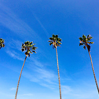 USA, California, San Diego. Palm Trees line La Jolla Shores Beach.