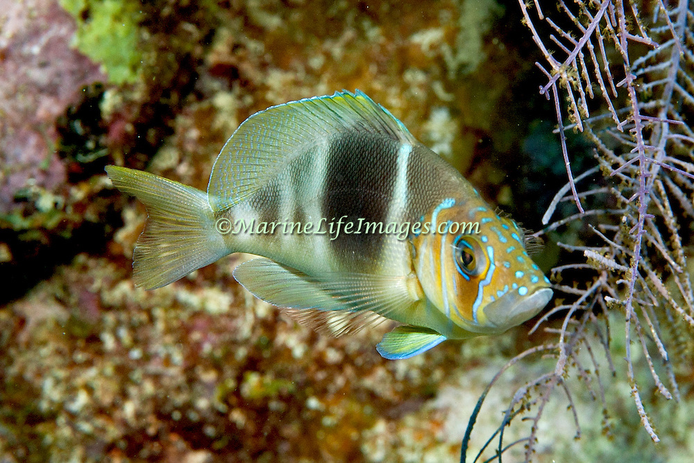 Barred Hamlet inhabit reefs in Tropical West Atlantic; picture taken Grand Turk.