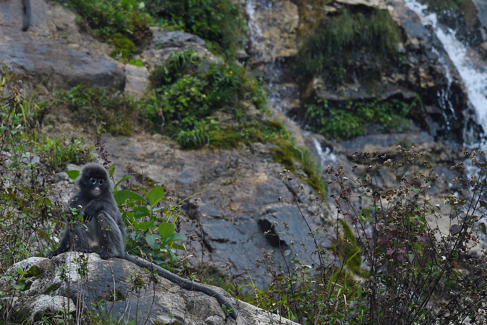 Phayre's leaf monkey or Phayres langur, Trachypithecus phayrei, sitting beside a waterfall at He Xin Chang Forest reserve, Dehong Prefecture, Yunnan Province, China