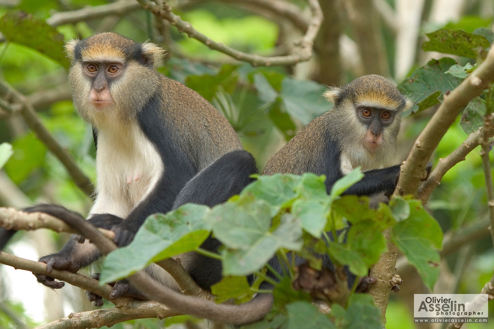 Mona monkeys at the Baobeng-Fiema monkey sanctuary, Ghana, West Africa.