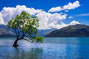 The Wanaka tree, Lake Wanaka, Otago, South Island, New Zealand