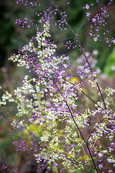 Thalictrum delavayi  and Thalictrum delavayi 'Album' - Chinese meadow rue