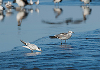 Laughing gull, Larus atricilla, and Sandwich tern, Sterna sandvicensis, near the mouth of the Tarcoles River, Costa Rica