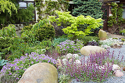 The front garden with shady planting of hostas and geraniums beneath Acer shirasawanum 'Aureum' AGM. Salvia planted amongst rocks and slate