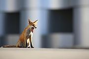 Urban fox cub feeling tried after spending a long night foraging food.