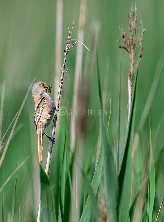 Bearded reedling (Panurus biarmicus, female) bringing food to the chicks. Photo from Vejlerne, northern Denmark in June.