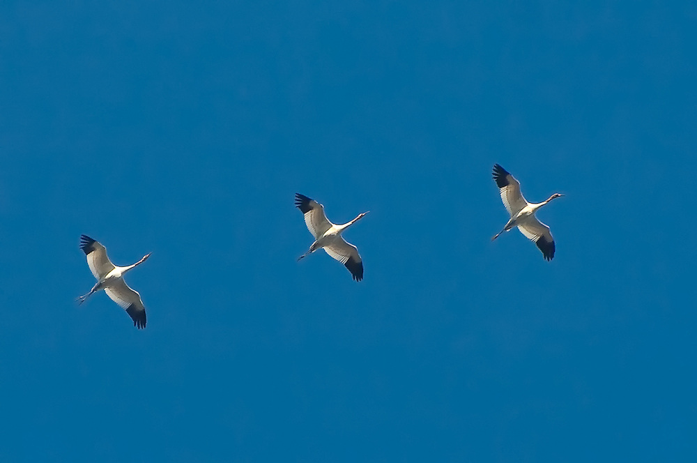"""Three of the ten """"first year"""" whooping cranes flying to their wintering grounds in St. Marks - part of the extensive efforts of Operation Migration."""
