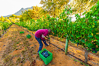Picking Merlot grapes during the wine harvest at Delaire Graff Wine Estate atop Helshoogte Pass, near Stellenbosch, Cape Winelands (near Cape Town), South Africa.