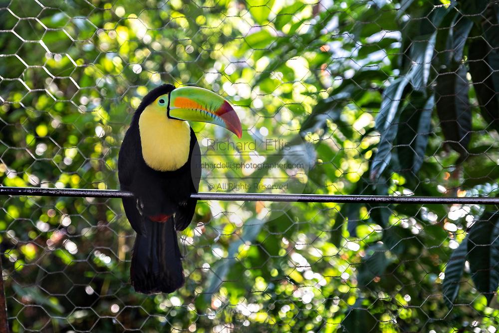 A pet toucan bird in Lake Catemaco, Veracruz, Mexico. The toucan is an endangered species but often kept as pets in Mexico.