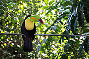 A pet toucan bird in Lake Catemaco, Veracruz, Mexico. The toucan is an endangered species but often kept as pets in Mexico.