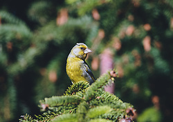 THEMENBILD - ein Erlenzeisig (Spinus spinus, Syn.: Carduelis spinus) sitzt auf einem Ast. Der kleine Vogel fällt durch sein gelbes Gefieder auf, aufgenommen am 06. Juni 2020 in Piesendorf, Oesterreich // an alder siskin (Spinus spinus, Syn.: Carduelis spinus) sits on a branch. The small bird attracts attention by its yellow plumage, in Piesendorf, Austria on 2020/06/06. EXPA Pictures © 2020, PhotoCredit: EXPA/Stefanie Oberhauser