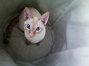 Simon, the Siamese cat. Red lynx point.