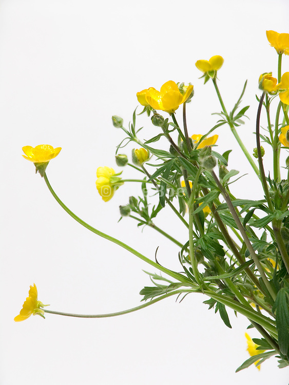 detail of a bouquetof buttercup flowers