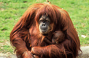 Sumatran orangutan (Pongo abelii or Pongo pygmaeus abelii) mother with infant In a zoo