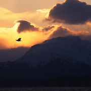 Bald Eagle (Haliaeetus leucocephalus) adult in flight at sunset. Alaska