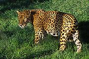 Jaguar (captive).(Panthera onca).Pantanal, Brazil