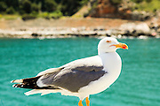 Sea gull close up. Photographed in Italy