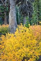 Sub-alpine foliage displaying fall colors, Okanogan National Forest Washington USA