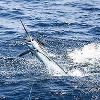 White Marlin acrobatics offshore Lobito, Angola