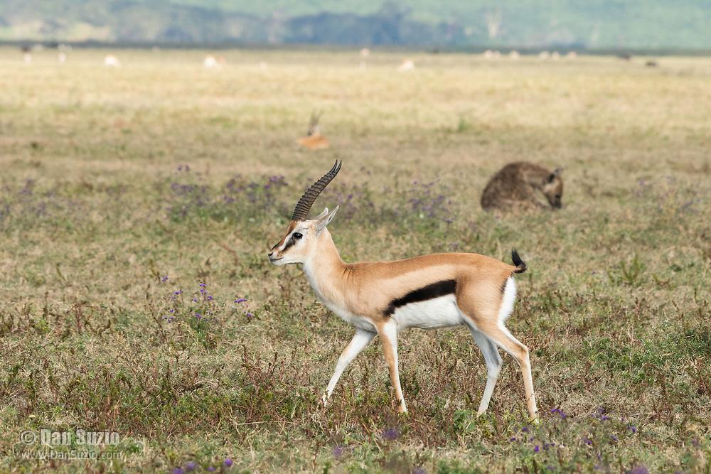 Thomson's Gazelle, Eudorcas thomsonii, walks past a Spotted Hyena, Crocuta crocuta, in Ngorongoro Crater, Ngorongoro Conservation Area, Tanzania