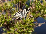 Southern Scarce Swallowtail butterfly Iphiclides podalirius feisthamelii, Castro Verde, Baixo Alentejo, Portugal, southern Europe