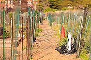 A mulch-covered path between fenced-in plots in a community garden. WATERMARKS WILL NOT APPEAR ON PRINTS OR LICENSED IMAGES.