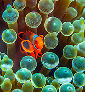 The sea anemone and the clownfish, PNG